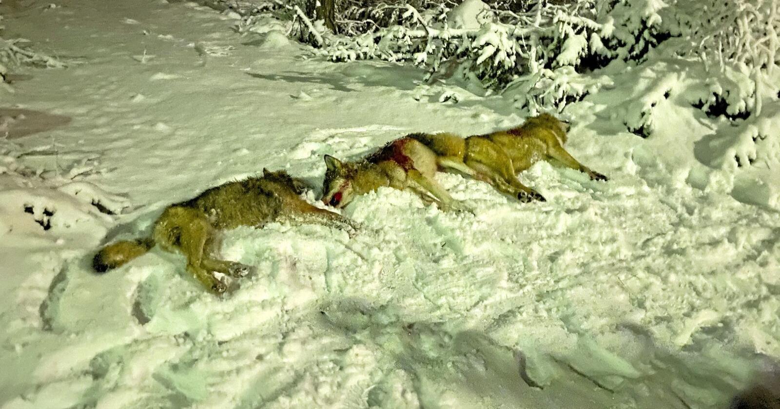 Flere ulver er felt innenfor ulvesonen under lisensjakta på ulv januar 2021. Foto: Kristian Noer