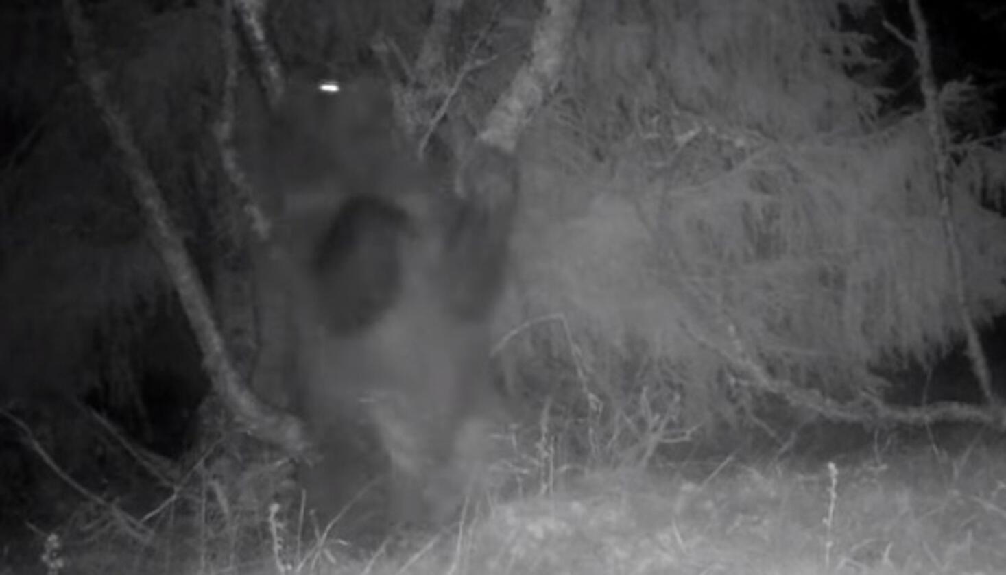 På bildet ser du bjørnen som Sondre Bech Sponberg fanget på et viltkamera tirsdag forrige uke. Foto: Viltkamera Norge/Sondre Bech Sponberg