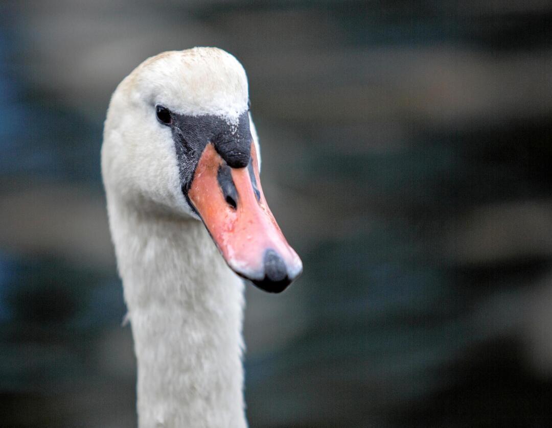 Omstridt fugl: Så absurd det enn høres må vi stille spørsmålet: Er en svane mer verd enn et menneske? Foto: Torstein Bøe/NTB scanpix