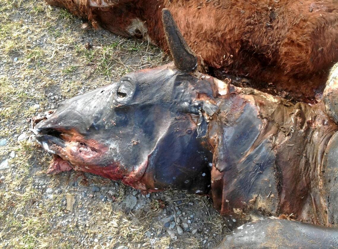 Dette er et eksempel på en sak med alvorlig vanskjøtsel av storfe. Det viser dyr som er døde på grunn av mangel på mat og vann. Bildene er fra noen få år tilbake. Foto: Mattilsynet