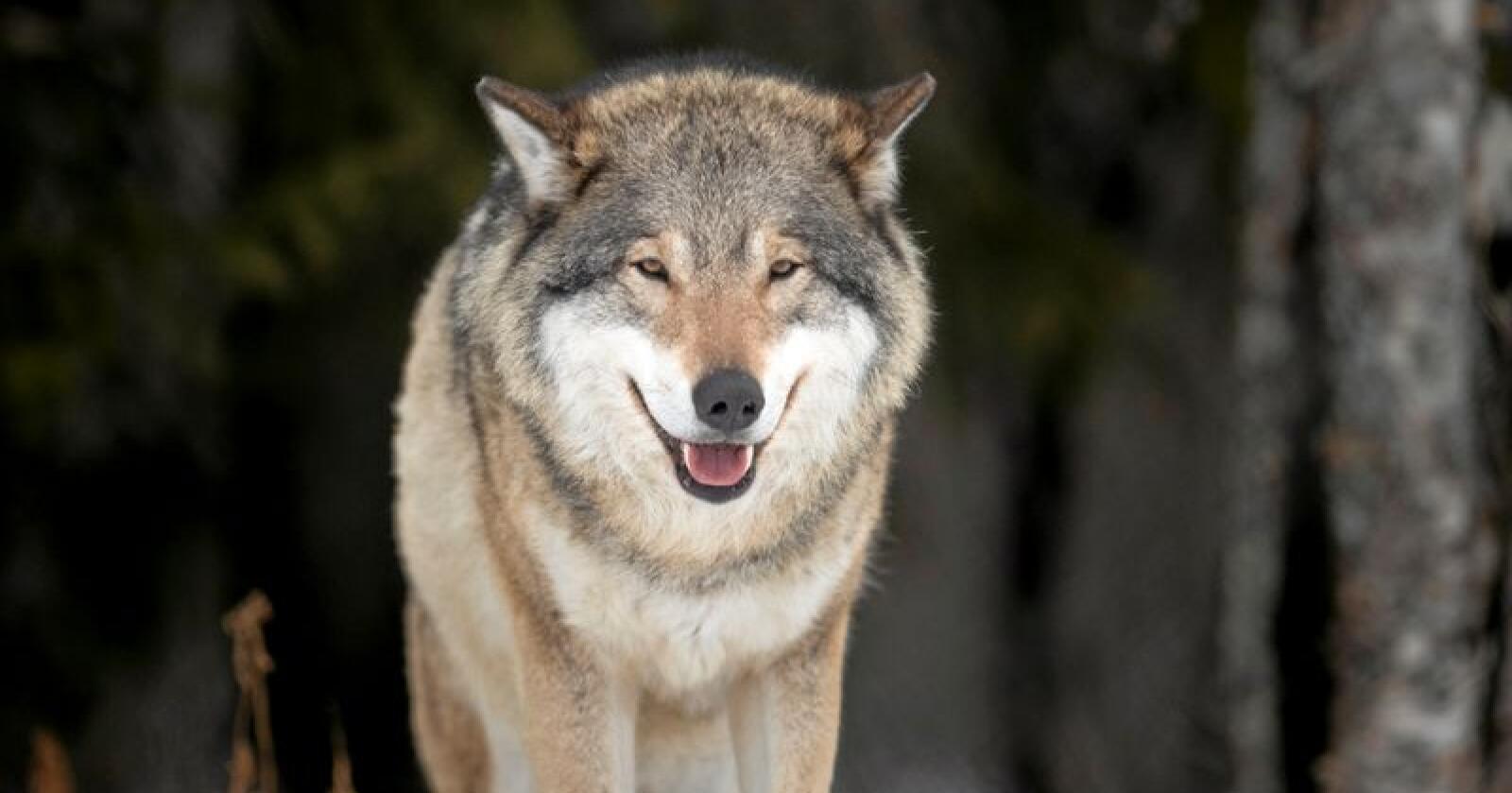 Bygdefolk for rovdyr ønsker gratis buss til markeiring for ulv i Oslo. Illustrasjonsfoto: Heiko Junge / NTB scanpix
