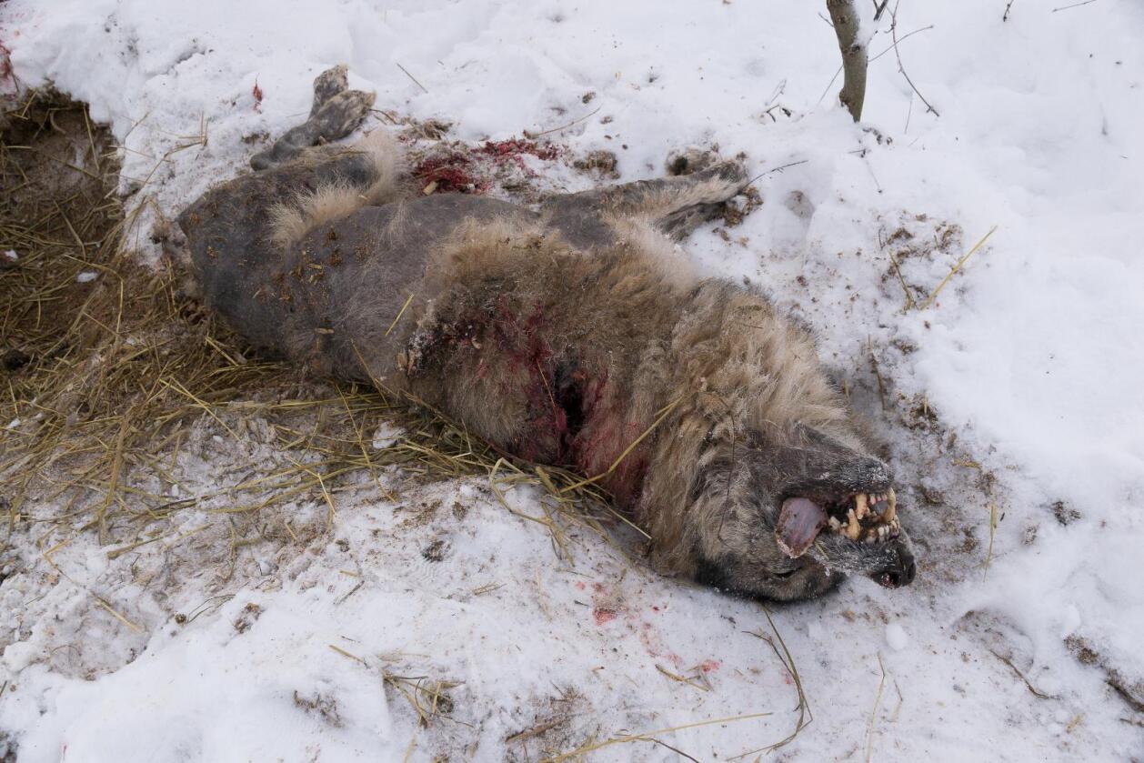 Ulven som ble skutt i Enebakk. Foto: Gunnleik Seierstad/Enebakk Avis