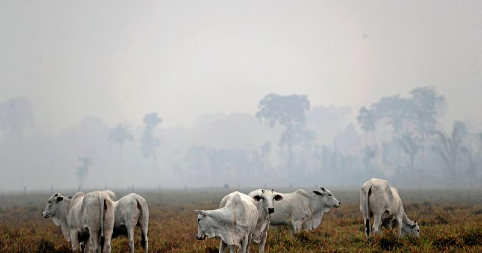 Forsvinner: Regnskogen i Brasil forsvinner hurtig som følge av både kjøttproduksjon og nedbrenning. Foto: Eraldo Peres/AP/NTB scanpix