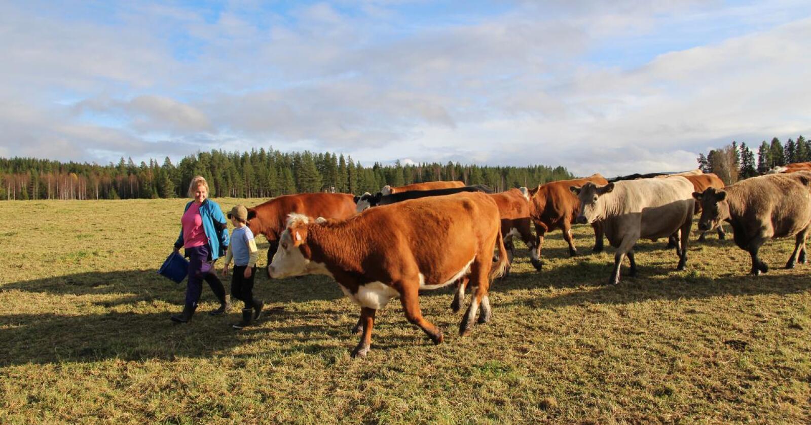 Kjøttkutt: Regjeringens kjøttvyer vil gjøre at 7 av 10 kjøttfebønder må vekk, skriver kronikørene.  Foto: Kristin Bergo