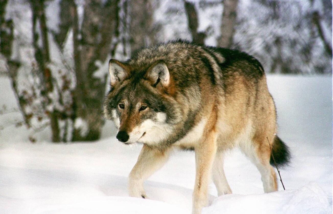 For eller imot: Organisasjonen Bygdefolk for rovdyr skal stå på stand i Elverum sentrum i helga. Målgruppa deres er folk som ikke vet så mye om ulv og vil vite mer. Foto: Anne-Grethe Danielsen