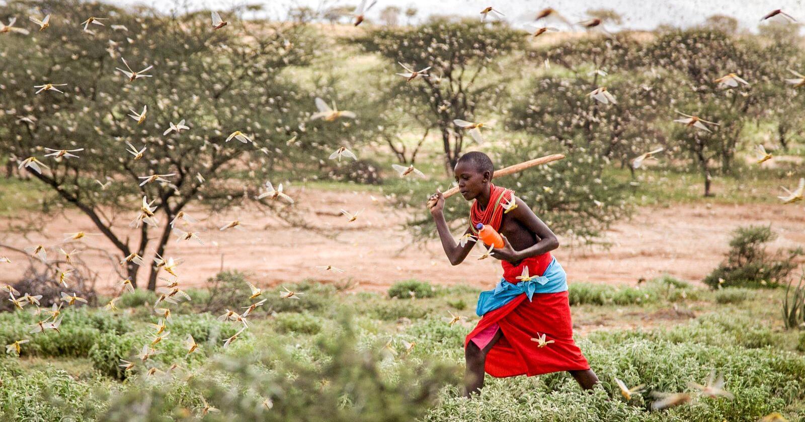 En gutt som gjeter kameler nær landsbyen Sissia i Kenya forsøker å skremme vekk en gresshoppesverm med en kjepp. Bildet er tatt torsdag. Den største oppblomstringen av gresshopper på 25 år truer nå matforsyningen i flere land i Øst-Afrika. Foto: Patrick Ngugi / AP / NTB scanpix