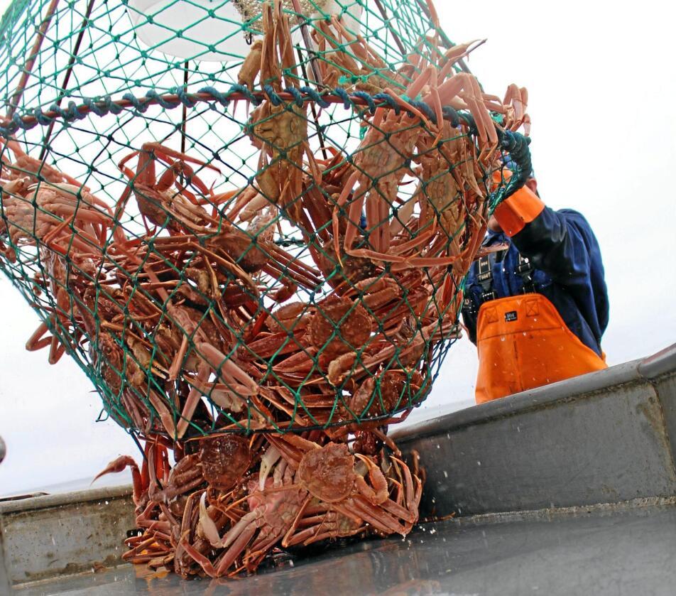 Snøkrabben har de siste årene blitt mer og mer utbredt i norske farvann i Barentshavet. Foto: SINTEF
