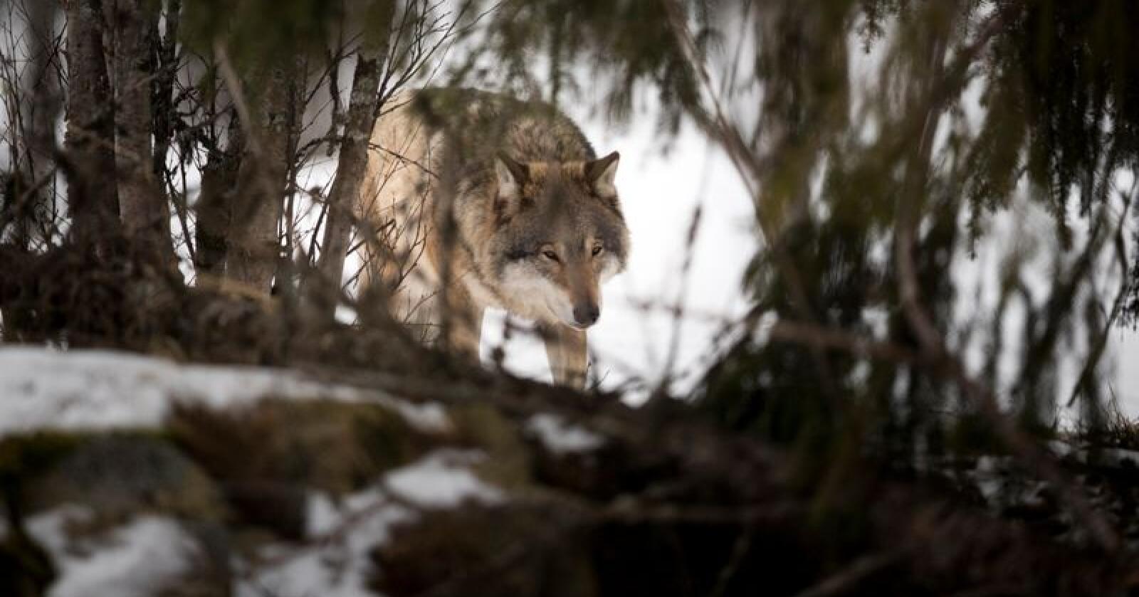 Rovviltnemndene i Oslo, Akershus og Østfold og i Hedmark opprettholder sitt jaktvedtak. Foto: Heiko Junge / NTB scanpix