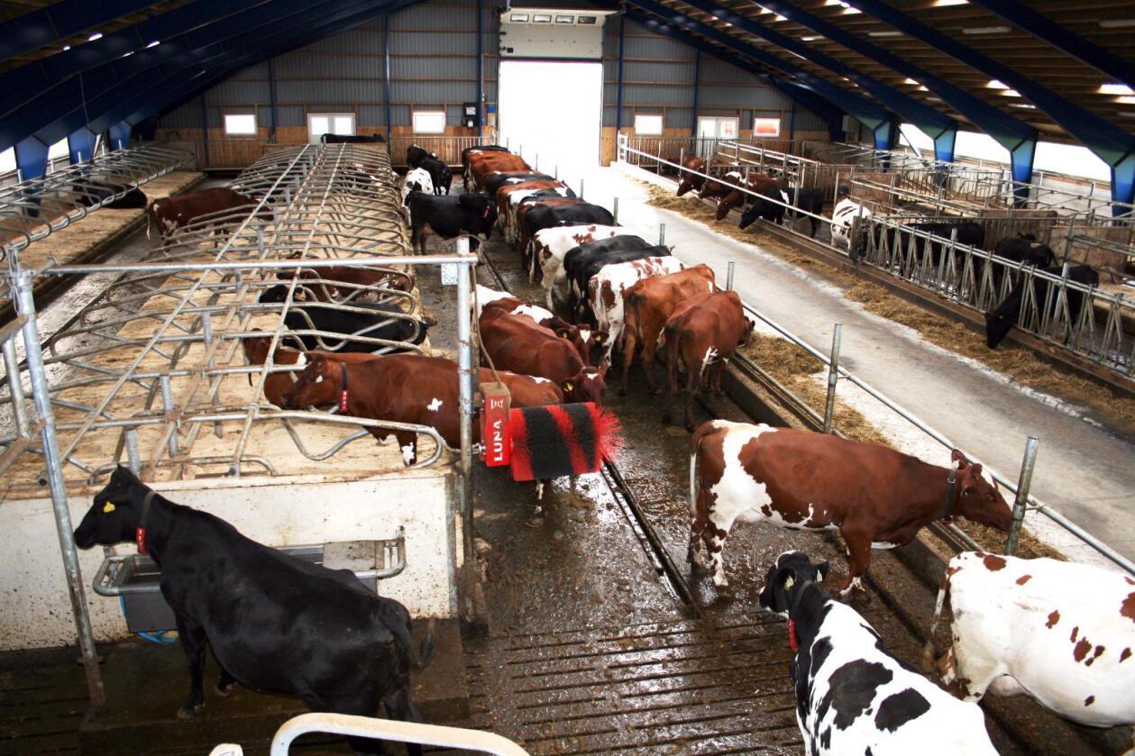 Melkeproduksjonen er fremdeles en bærebjelke i landbruket her i Norge, men i resten av Europa er lønnsomheten lav. Her et moderne melkefjøs på Rygge i Østfold. Foto: Bjarne Bekkeheien Aase