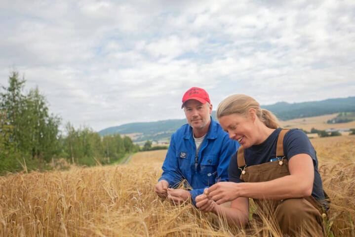 40 prosent til maltbygg: Det vokser bygg på 550 mål rundt gården til Bodil Oust og Tyson Weaver. De regner med at 40 prosent av avlingene vil gå til maltproduksjon.
