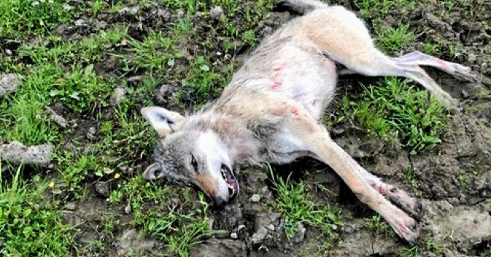 Ulven som ble skutt av en bonde i Sør-Odal tirsdag. Foto: Politiet i Innlandet