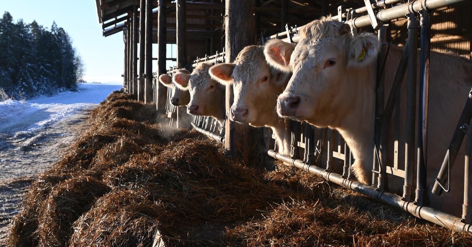 Dyrehelse: Norge har en svært god dyrehelse, og resistensen mot antibiotika går faktisk ned, skriver Ole Avlseike. (Foto: Marit Glærum)