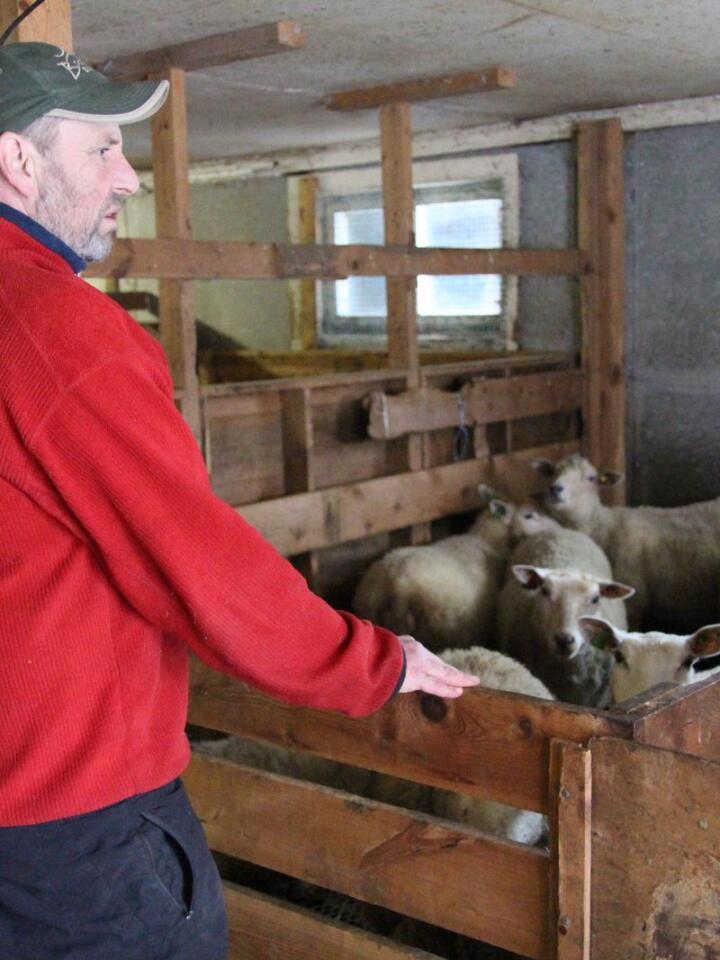 TILFREDS: Sauebonde Tore Nybo er nokså fornøyd med økonomien i sauedrifta. Så lenge han er bevisst på hva han bruker penger på, og holder utgiftene nede, synes han 80 kroner kiloen er en god pris på slaktelamma.