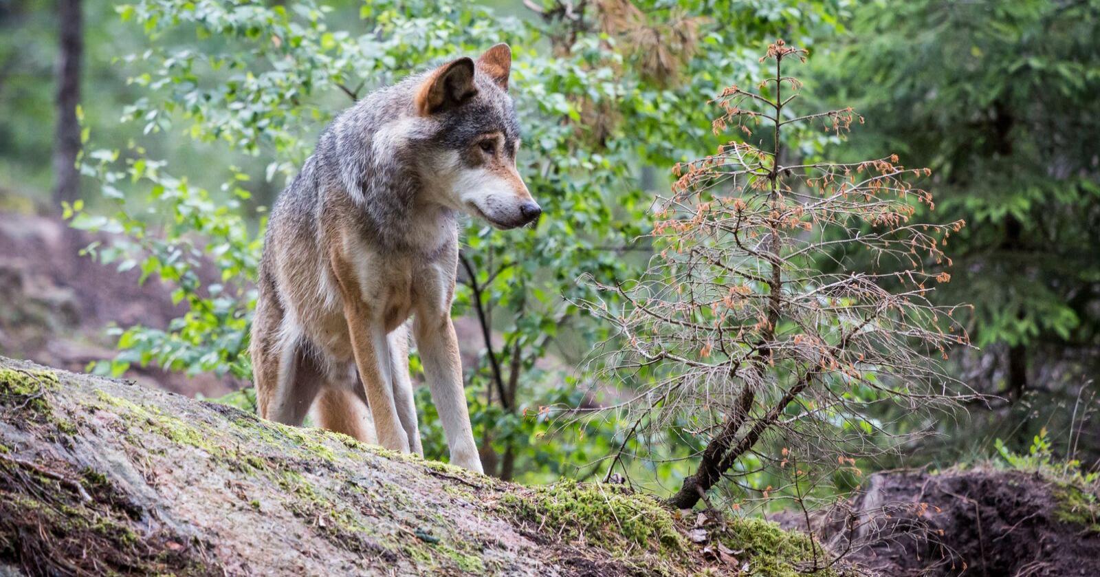 Småbrukarlaget får utdelt DNA-prøver fra 18 ulver. Det skal nå sjekkes på det tyske laboratoriet ForGen. Foto: Mostphotos