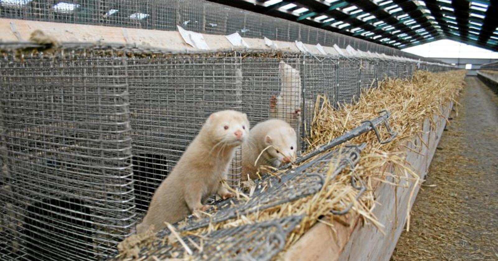 Avvikling: Regjeringa vil avvikle pelsdyrnæringa innan februar 2025. Foto: Bjarne Bekkeheien Aase