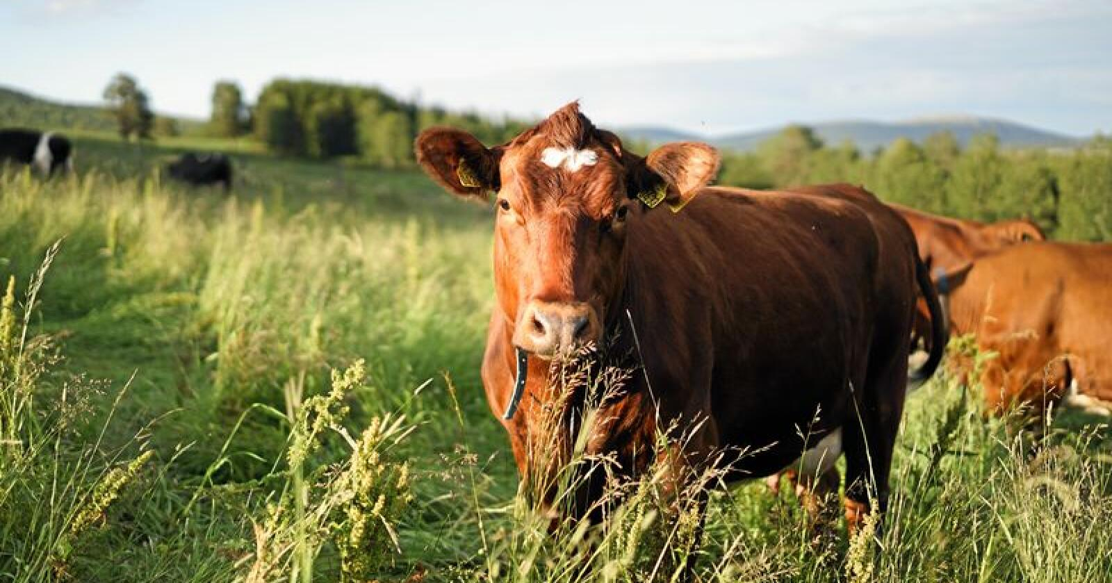 Ute: Alle kyr fortjener å være ute. Foto: Benjamin Hernes Vogl