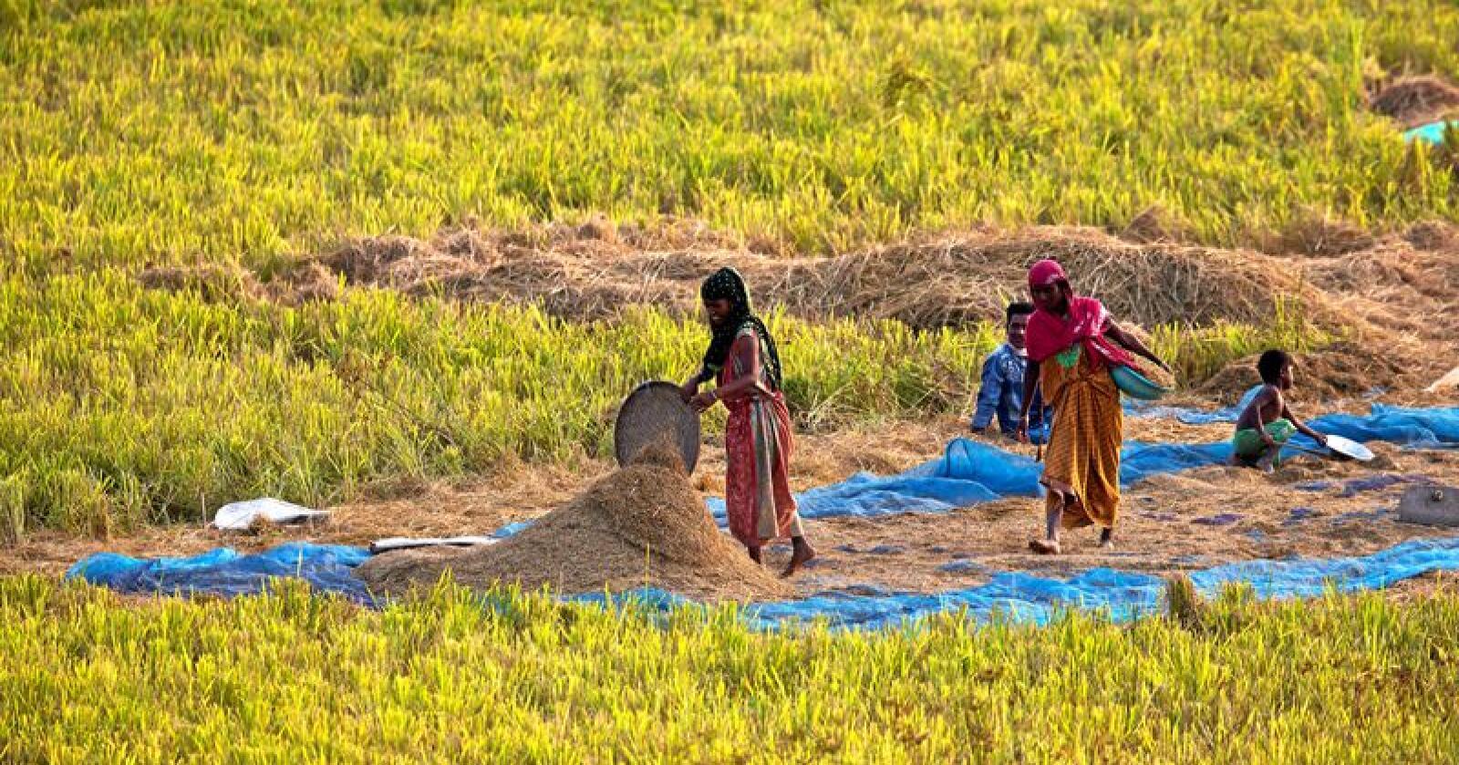 Innsats: Kvinner står for over halvparten av arbeidet som gjøres i landbruket, men nyter lite av godene. Foto: Anupam Nath/AP/NTB scanpix