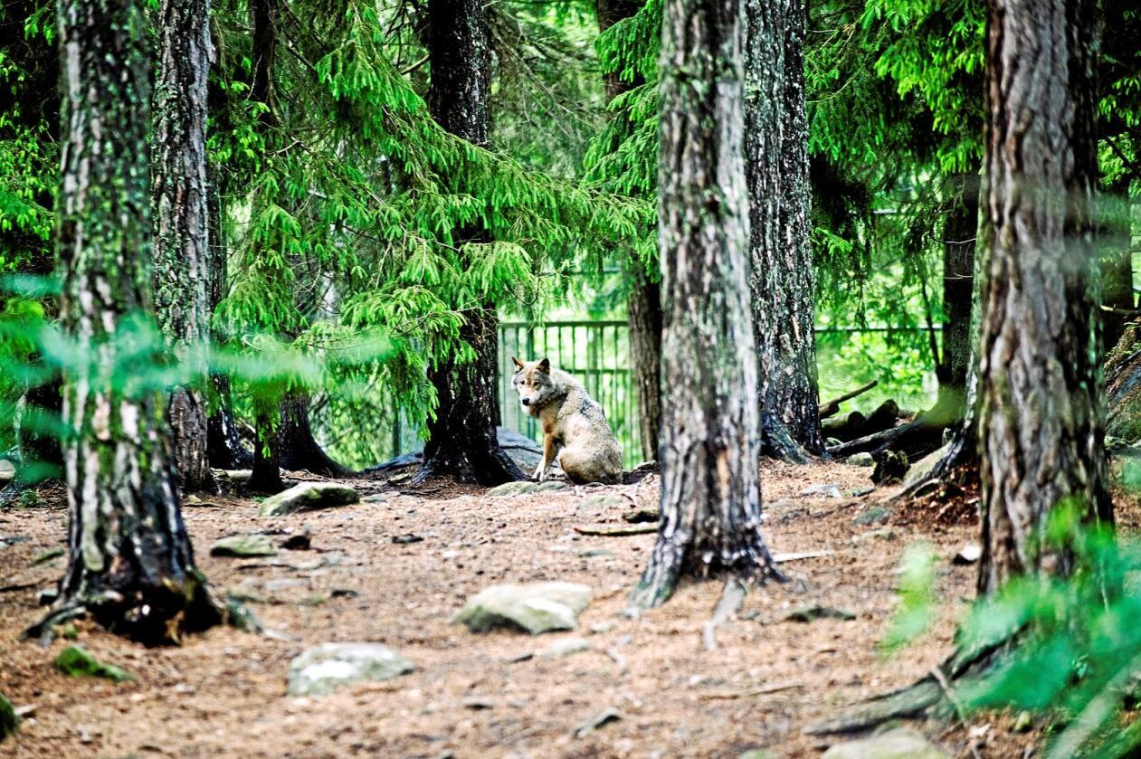 Ulv: En ulv som skal komme seg fra finske eller russiske revirer til Norge, må belage seg på en svært lang og strabasias tur gjennom farlige områder, skriver kronikkforfatteren. Denne ulven, derimot, er fotografert i en svensk dyrepark. Foto: Henrik Witt/NTB Scanpix