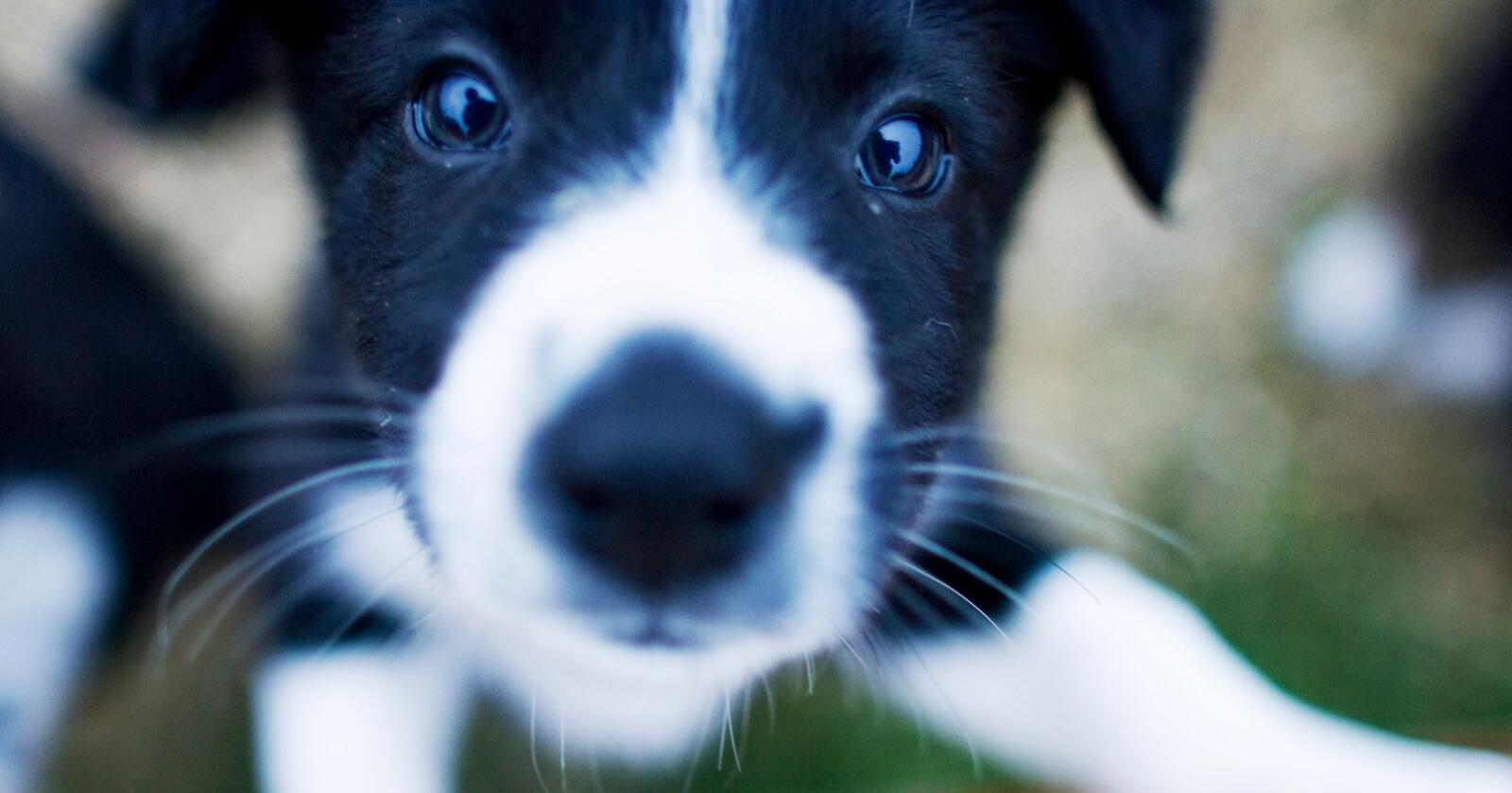 Politiet har i sommer allerede reddet flere fortvilede hunder fra varme biler. NAF advarer om at dette skjer hver sommer Foto: Kyrre Lien / NTB