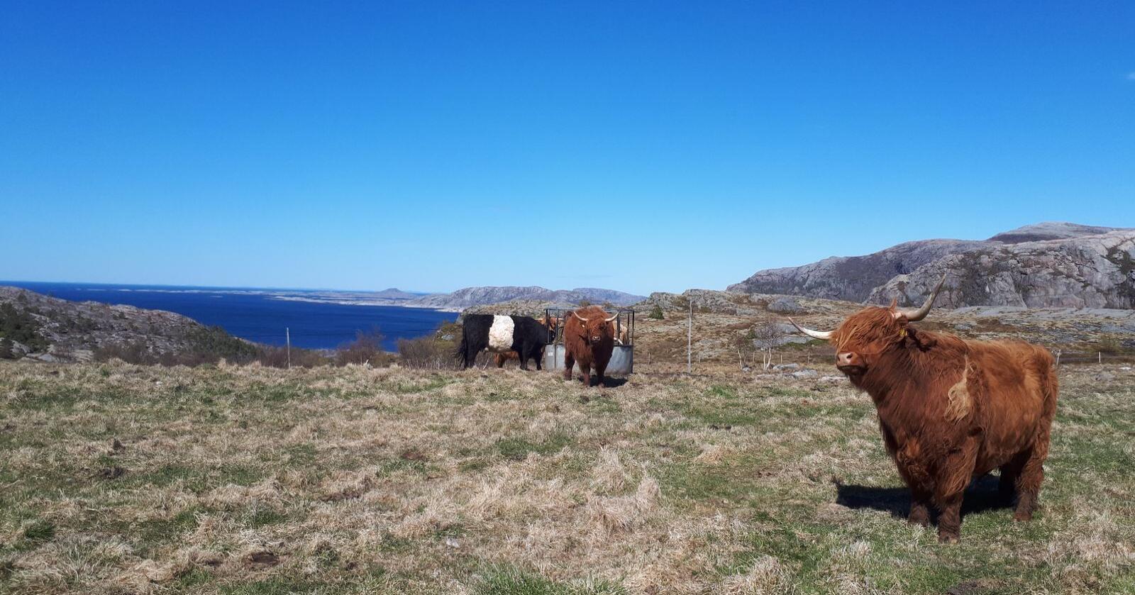 Raine Olaf Ørsnes har 18 mordyr av høylandsfe. Nå har han startet å krysse inn kolla rase.  Foto: privat.