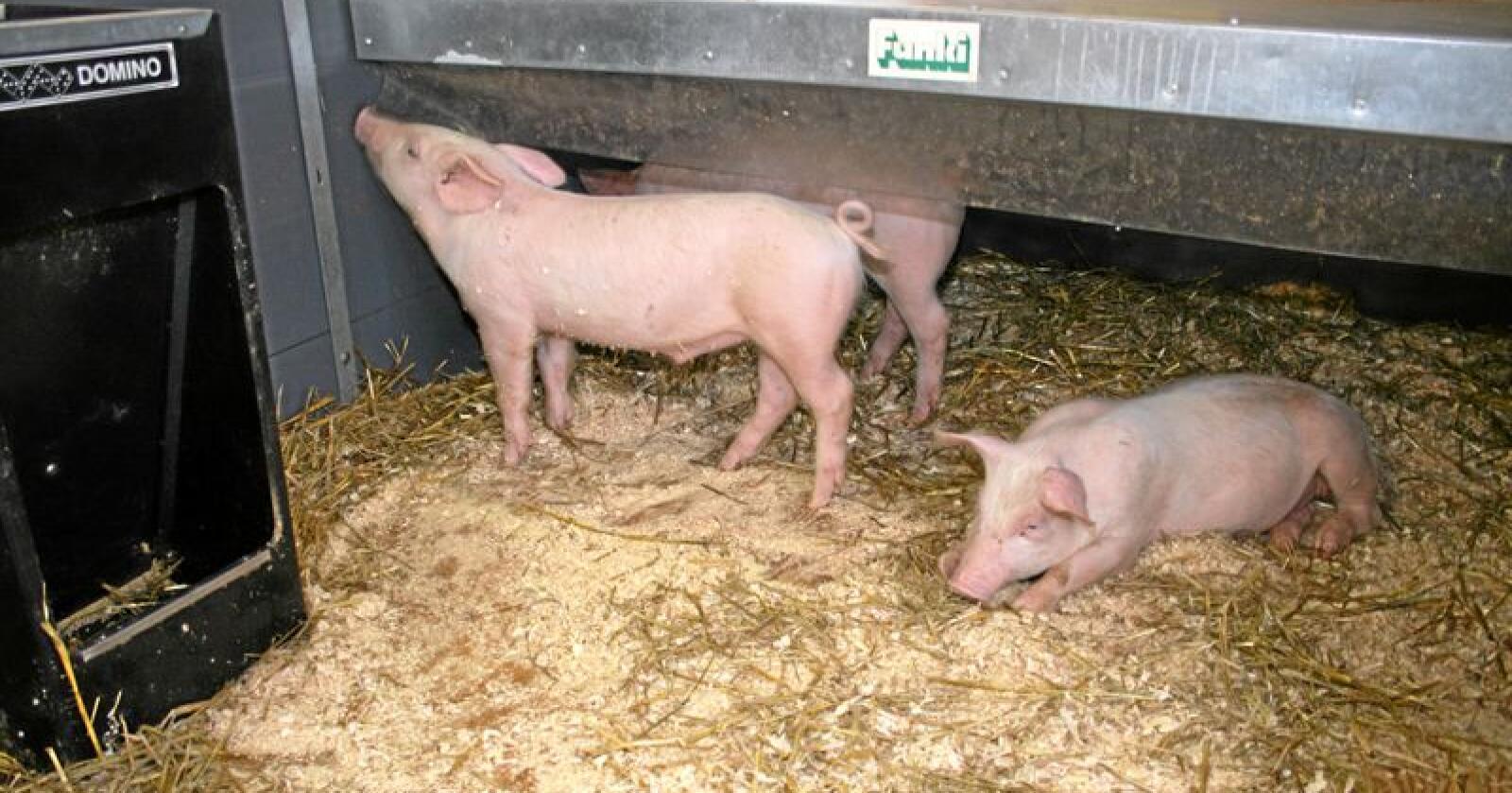 Svinebrems: Produksjonen av svin er venta å gå ned fem prosent etter fleire tiltak for å få bukt med overproduksjonen. Det opnar for at lagera av svinekjøtt kan bli mindre. Foto: Bjarne Bekkeheien Aase