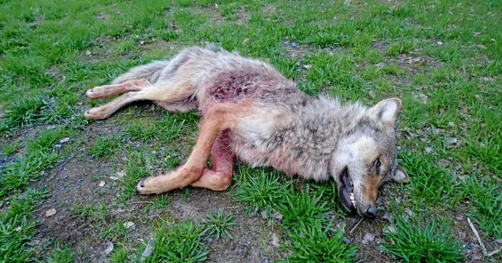 Flere innlandskommuner boikotter årets TV-aksjon på grunn av WFFs meninger om ulv i norsk natur. Men både Elverum og Trysil støtter TV-aksjonen. Ulven på bildet ble skutt i Elverum i 2019. Foto: Statens naturoppsyn