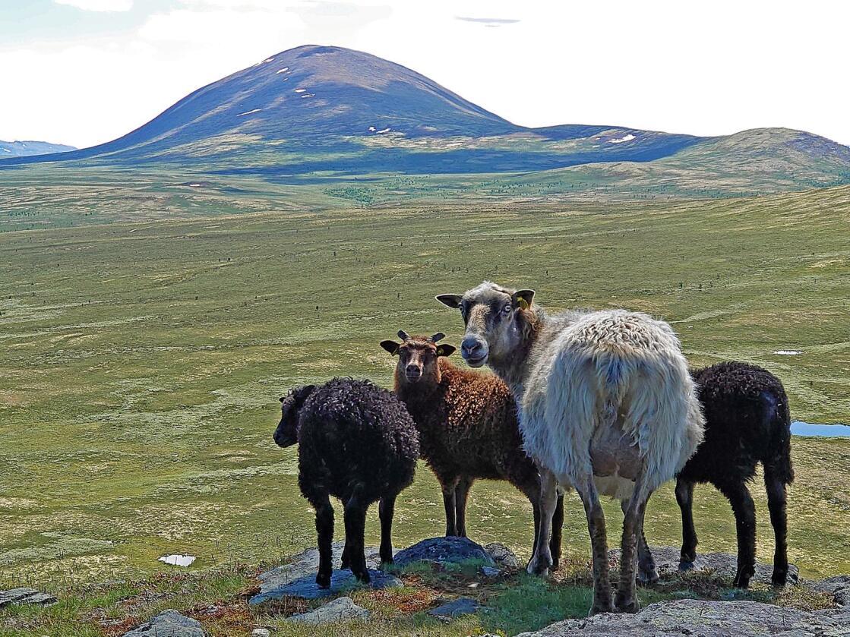Statens naturoppsyn i Agder melder at få sauer er tatt av rovdyr hittil i sommer, skriver NRK. Foto: Bård Bårdløkken