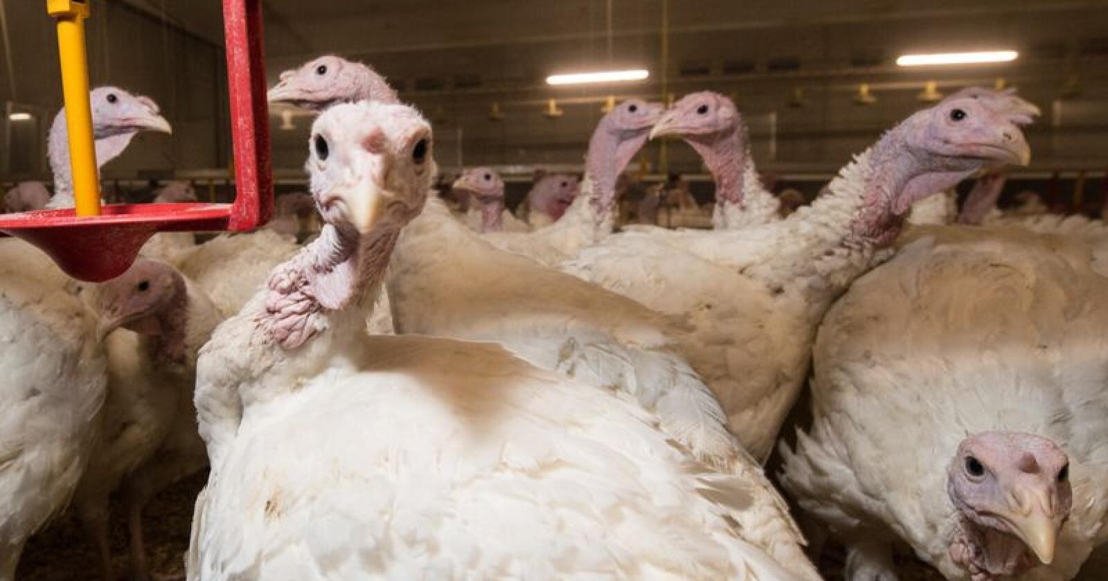 Så vidt Nationen vet, er ikke disse kalkunene smittet av fugleinfluensa. Illustrasjonsfoto: Vidar Sandnes
