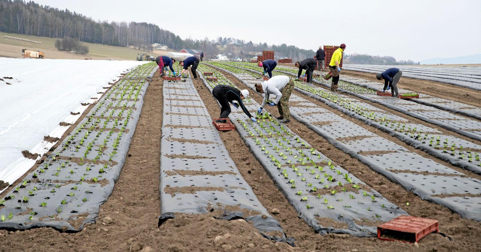 I jordbruket tar vi det for gitt at folk fremdeles skal jobbe mer for mye mindre betalt, skriver innsenderen. For ordensk skyld; bildet er ikke tatt i sammenheng med teksten. Foto: Terje Bendiksby / NTB scanpix