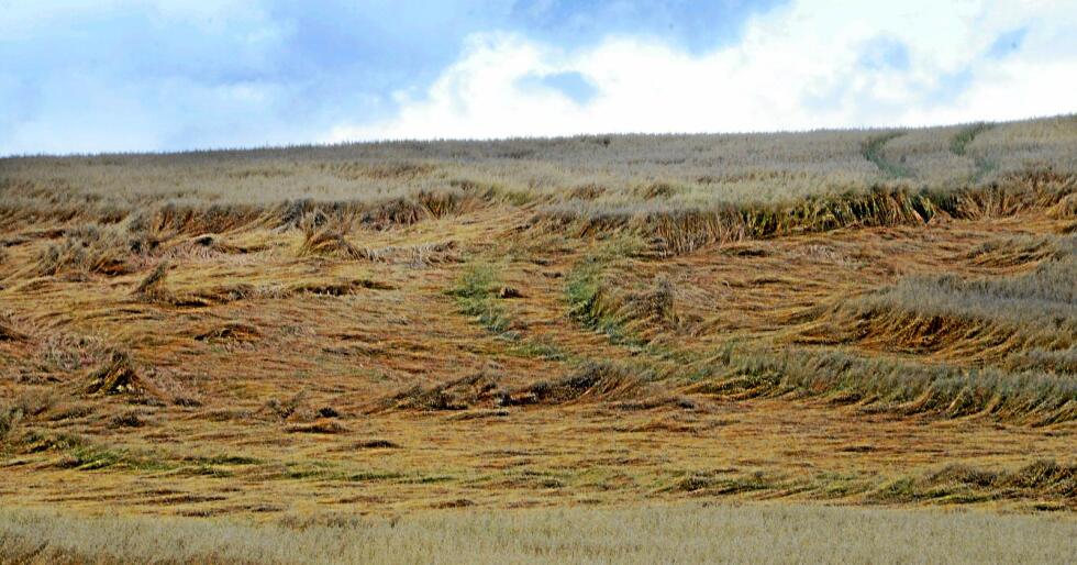 Kornavlingar: Mykje regn i haust har skapt trøbbel for mange kornbønder, noko som gjer at sjølvforsyninga med norsk matkorn i år er den lågaste sidan 2011. Foto: Mariann Tvete