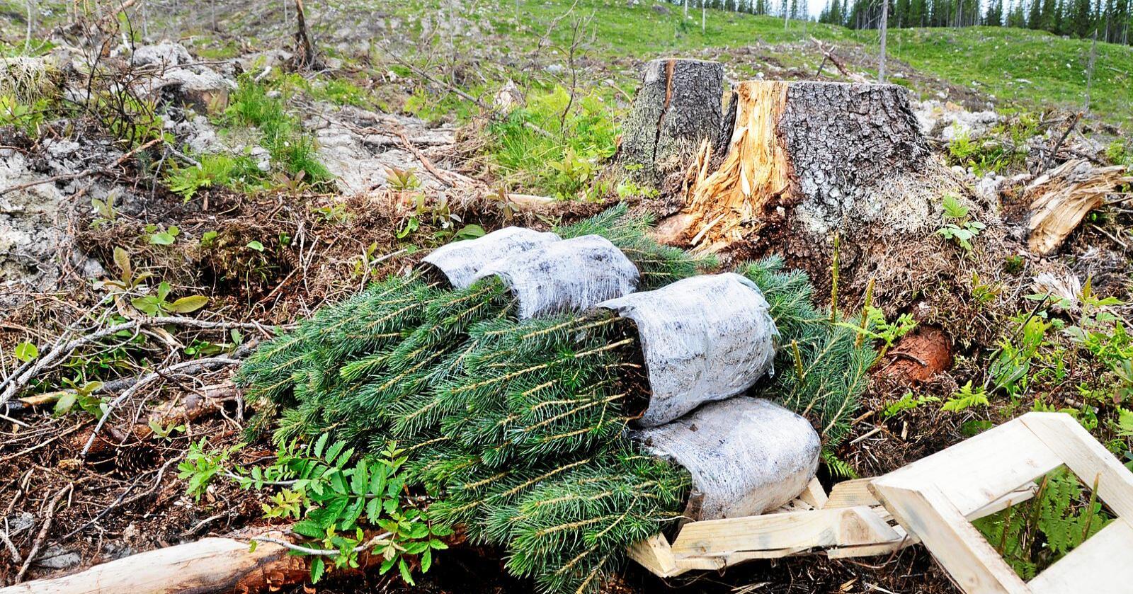 Potensial: Tettere og mer skogplanting -gjødsling øker opptaket av CO2 i skogen. Foto: Mariann Tvete
