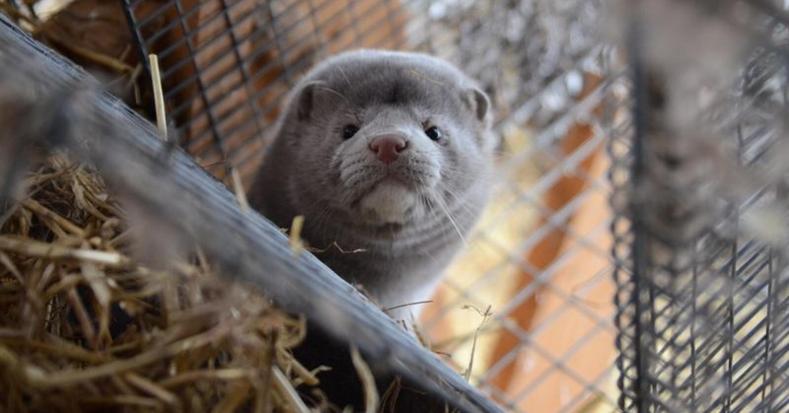 Lovforslaget om forbud mot hold av pelsdyr, har skapt sterke reaksjoner i norsk næringsliv. Foto: Liv Jorunn Denstadli Sagmo