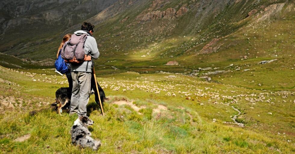 En gjeter med hund skuer utover beitende sauer i de franske Alpene. Foto: Cerpam