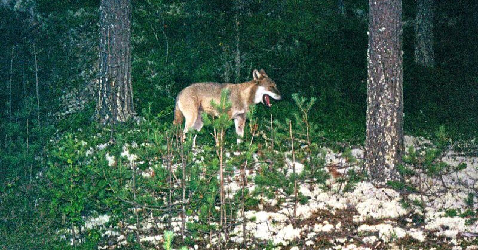 DNA fra mange ulver langt tilbake i tid skal analyseres i et prosjekt som NTNU Vitenskapsmuseet setter i gang. Her en ulv fotografert i Elverum i 2002. Foto: Vegard Moberget/NTB SCANPIX