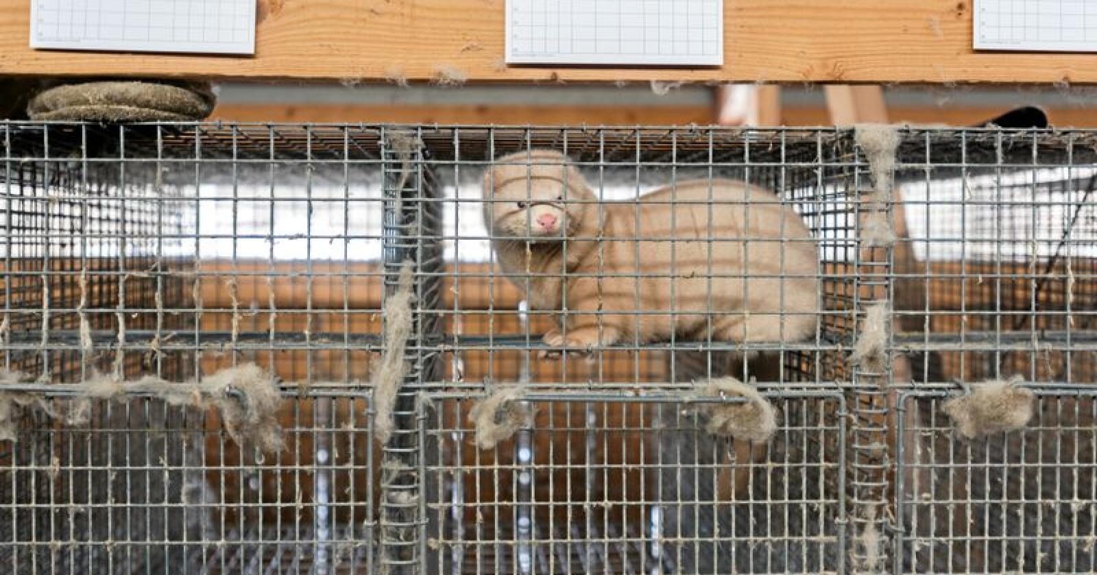 Loven om hold av pelsdyr skal opp til behandling i Stortinget, men nå ønsker Arbeiderpartiet å stoppe behandlingen. Foto: Havard Zeiner