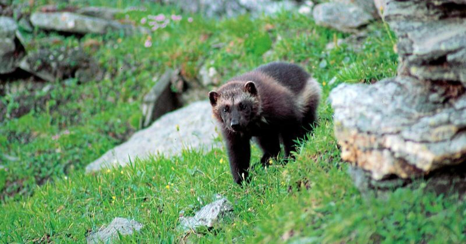 Jerven er det rovdyret som står bak flest av de erstattede tapene av beitedyr i Norge. Foto: Roy Andersen/Norsk institutt for naturforskning (CC BY 4.0)