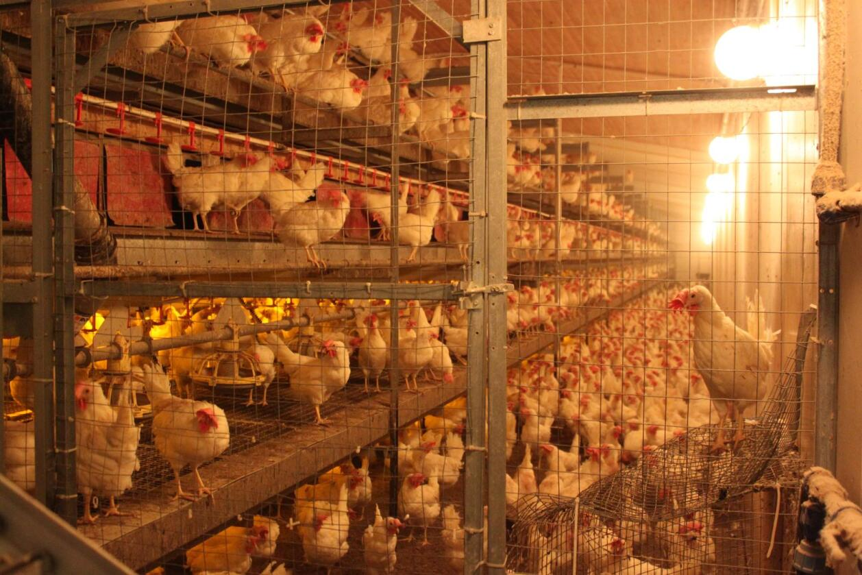 Kastes: 3 millioner verpehøns kastes i dag. Om forbrukerne vil er det ingen ting kan det være annerledes i framtiden. Foto: Camilla Mellemstrand