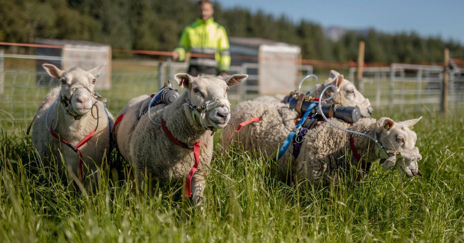 SOMMERENS MOTE: Med gassbeholdere på ryggen, har disse sauene sørget for at forskere ved NIBIO kan beregne hvordan beiting påvirker klimagassutslipp. Foto: There Jægtvik, NIBIO
