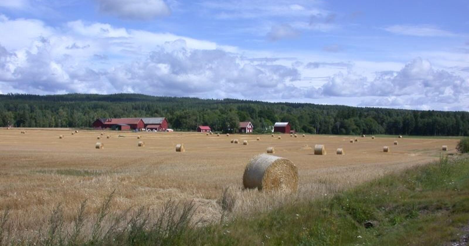 Årets innhøsting i Sverige blir den dårligste siden slutten av 1950-tallet, påpeker Lantmännen i en ny, oppdatert prognose. Her sees kornproduksjon i Värmland. Foto: Øystein Retvedt