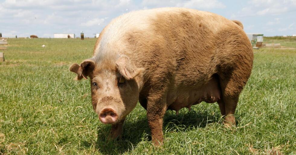 Høy dyrevelferd: Hvert år har gården Dingley Dell Pork rundt 500 besøkende, og først og fremst er det kokkene ved restaurantene som er på besøk, for at de skal kunne fortelle hvordan grisene lever på gården der kjøttet kommer ifra.