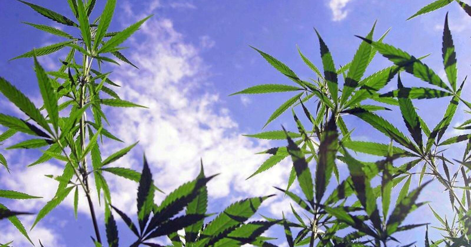Dyrking av cannabis kan bli fremtiden for pelsdyrbønder, ifølge Venstre-politiker. Foto: Colourbox