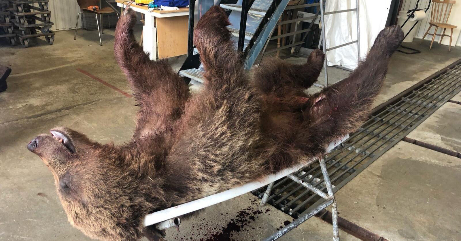 Ikke nok: Til tross for flere bjørneuttak i Trøndelag gjør bjørn skade på beitedyr. Foto: Stein Kristian Røset / NTB