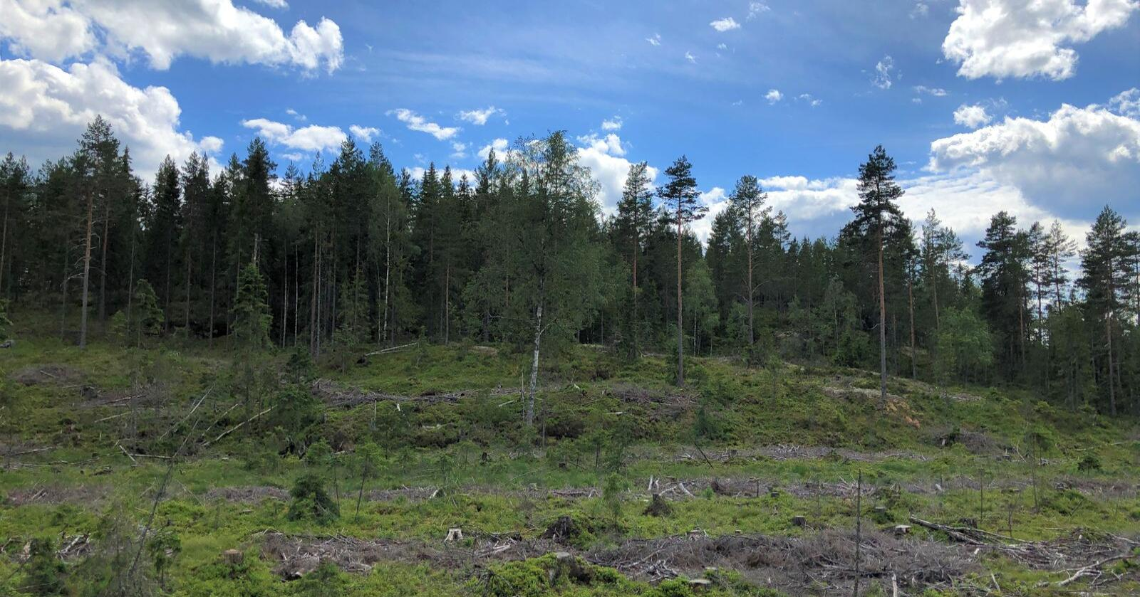 Ved en flatehogst hogges de fleste trærne på flata, deretter plantes det på nytt. Foto: Ida Aarø, Norges Skogeierforbund