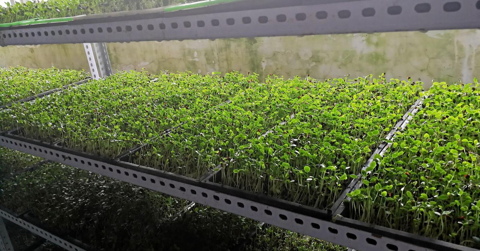 Mye tid hjemme gir nemlig muligheter til å dyrke nye hobbyer, slik som dyrking av mikrogrønt, skriver forsker Jihong Liu Clarke. Foto: Jihong Liu Clarke