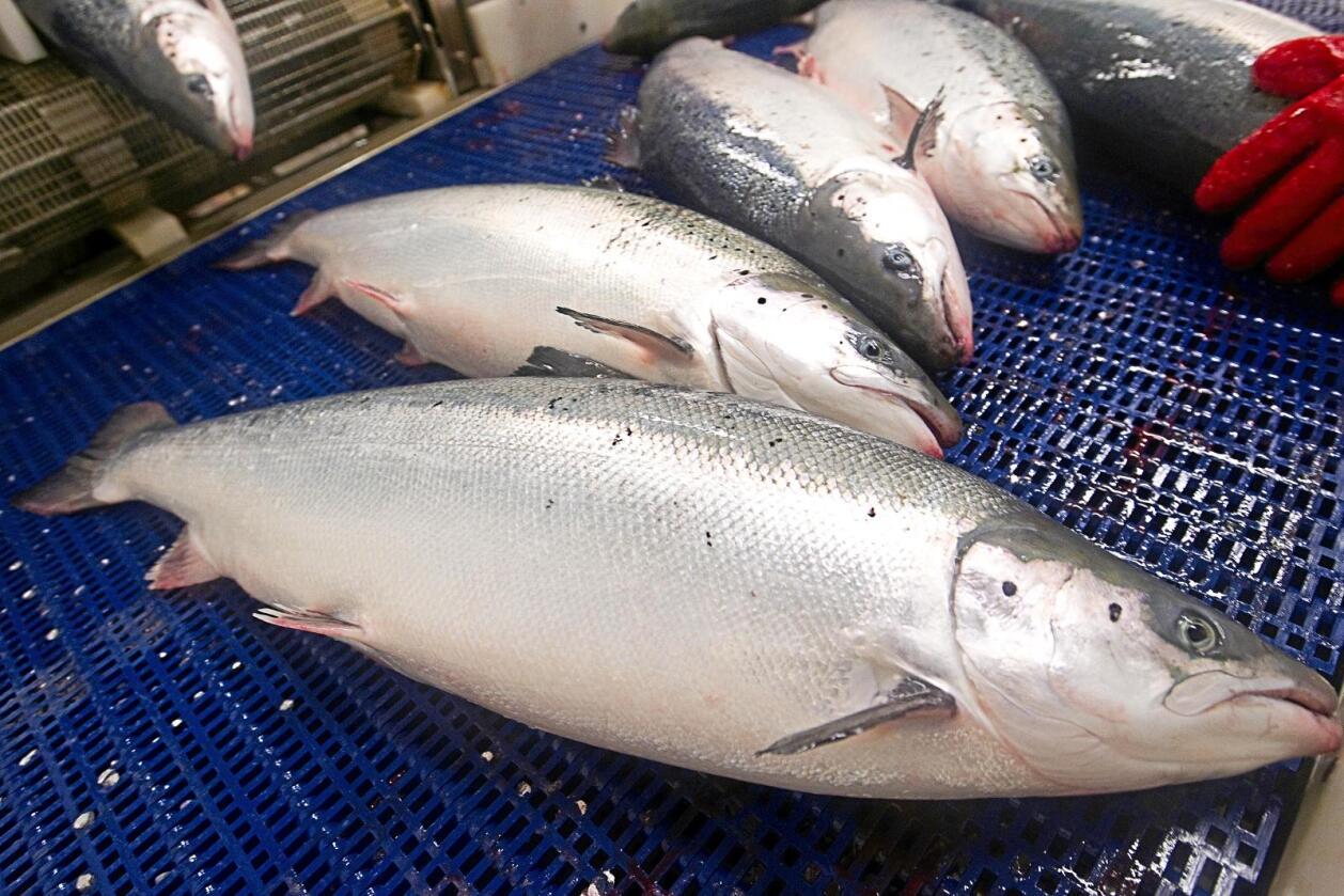 Laks: Innsenderen lurer på innholdet av omega 6 i oppdrattslaks. Foto: NTB scanpix
