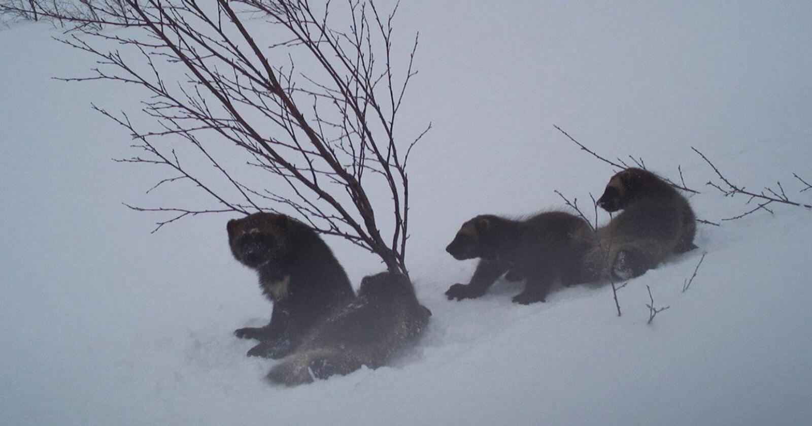 Antallet jervekull i Norge fortsetter å øke. På bildet sees en jervetispe og tre valper i Målselv. Foto: SNO