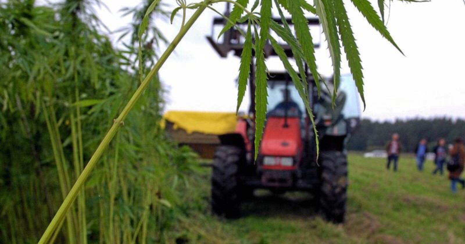 Siden 1964 har det vært forbudt å dyrke hamp i Norge, til tross for at planten kan erstatte for eksempel plast. Dette ønsker Norges Vel, Norsk bonde- og småbrukerlag, Norsk institutt for bioøkonomi og Coop å gjøre noe med. Foto: Emilie Wellfet / HP / SCANPIX