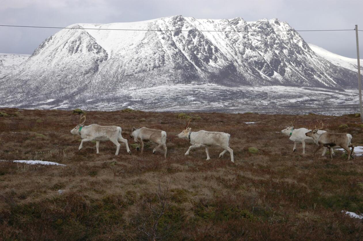 Skaper kontrovers: Den forestående nedslaktingen av reinsdyr i Nordfjella skaper sterke reaksjoner. Bildet viser rein i Andøy kommune (Foto: Illustrasjonsbilde Bondebladet)