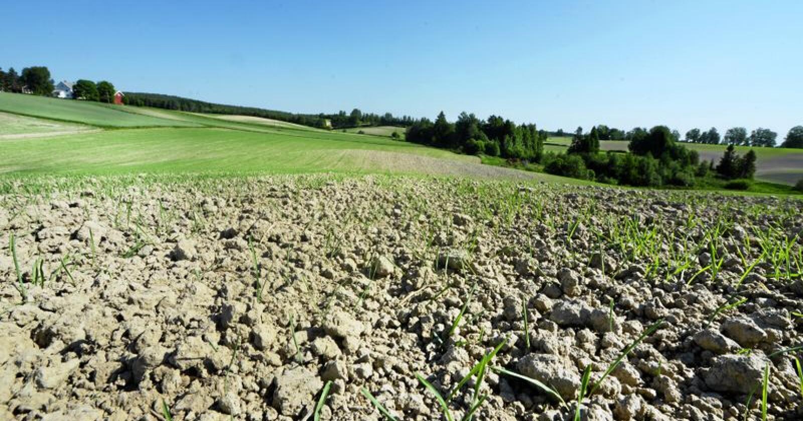 Tørkesommeren 2018 skapte store avlingsreduksjoner over store deler av landet. Foto: Siri Juell Rasmussen