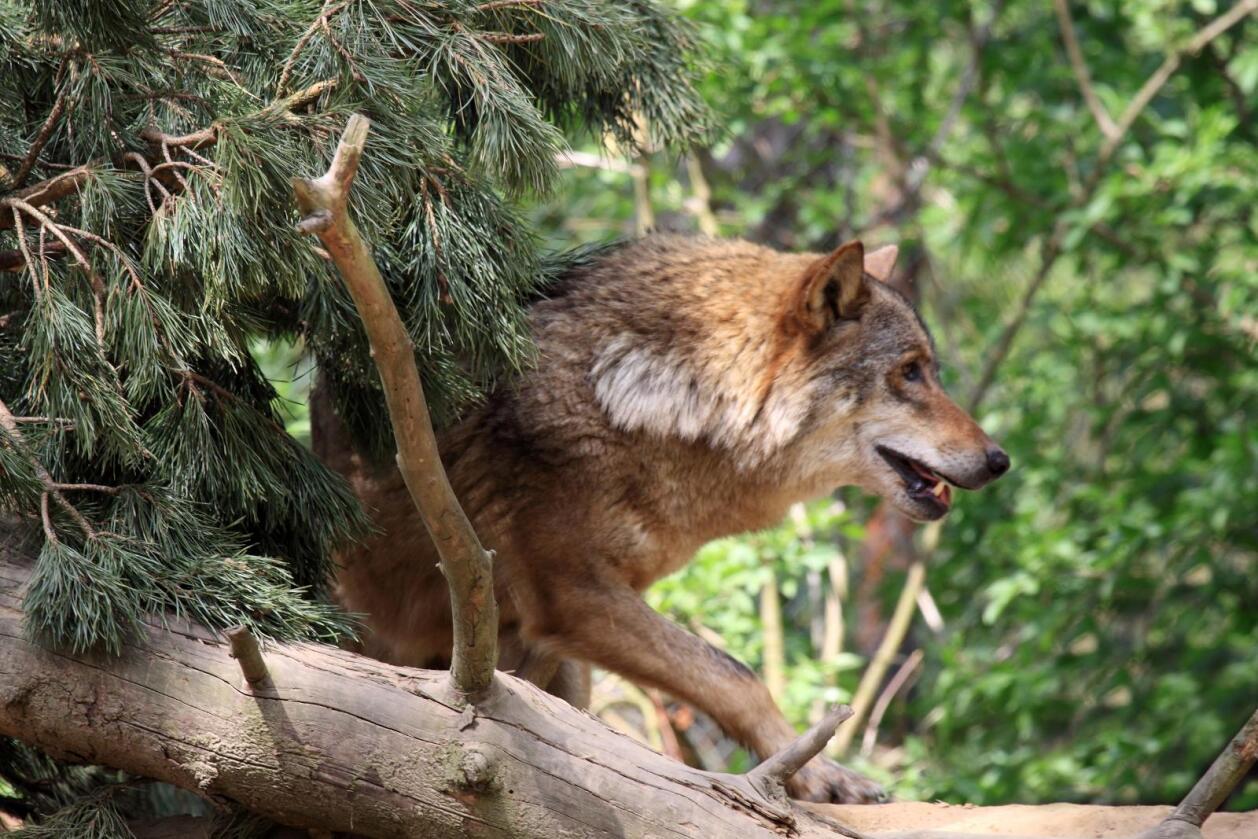 Vil ta ut inntil 36 ulver: Rovviltnemndene opprettholder vedtak om ulvejakt. Det skaper reaksjoner – i flere leire. (Foto: Colourbox)